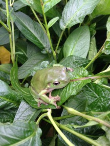 Frogs are a sign of a healthy garden.